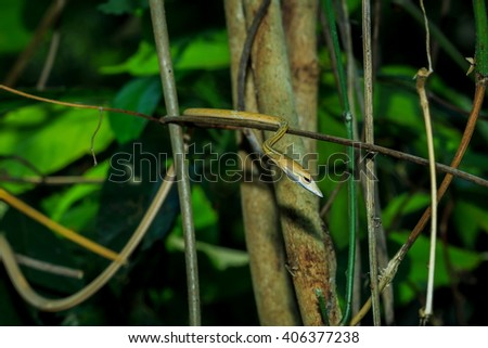 Ahaetulla prasina,Snakes, animals, nature