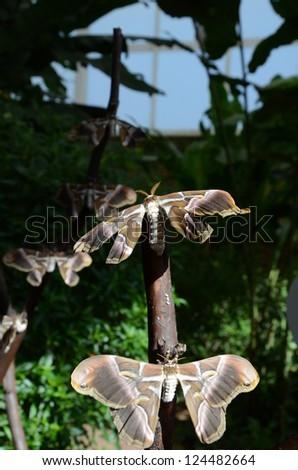 ailanthus moth - stock photo