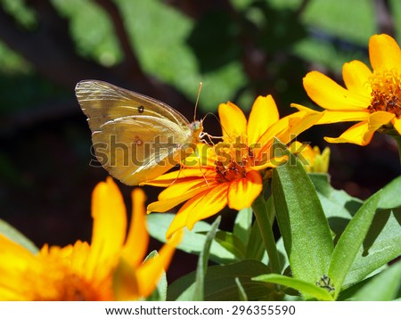 aimage of a butterfly sucking the necker of a yellow petunia flower - stock photo