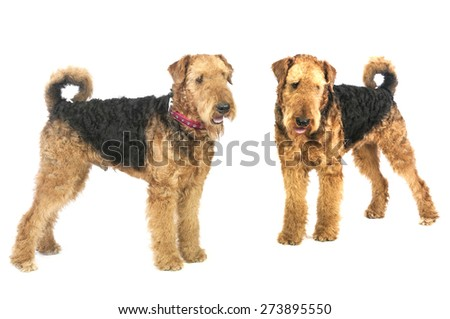 airedale - stock photo