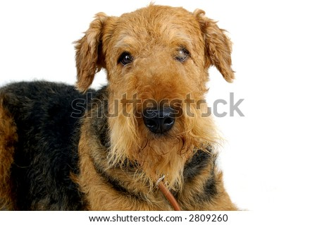 Airedale  looking at you - isolated on white