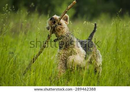 Airedale terrier dog playing with a stick sunny summer evening. - stock photo