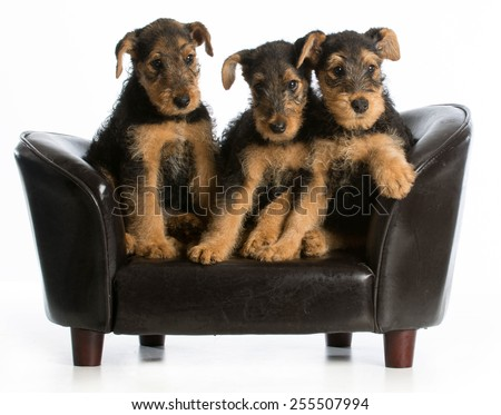 airedale terrier litter sitting on a dog couch on white background - stock photo