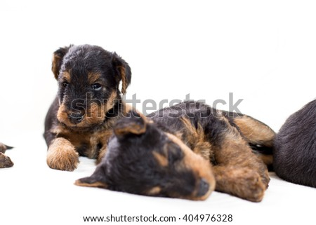 Airedale terrier puppy on white background - stock photo