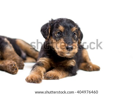 Airedale terrier puppy posing isolated on white background - stock photo