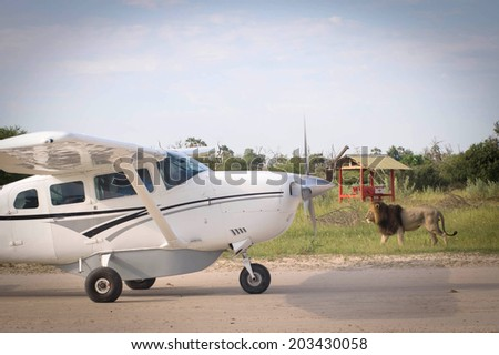 Airplain arriving to a Safari in  Botswana  airport  with a welcoming of a lion. Lion Walking beside the runway with Airplane arriving in daylight time.  - stock photo