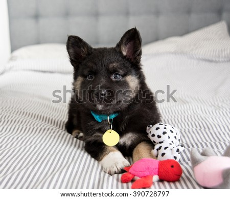 Akita and Shepherd Mix Black Fluffy Puppy Playing on Bed with Toys