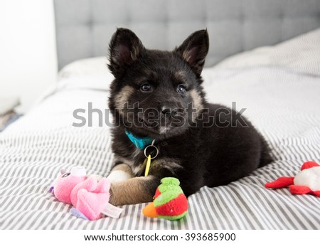 Akita and Shepherd Mix Black Fluffy Puppy Playing on Bed with Toys - stock photo