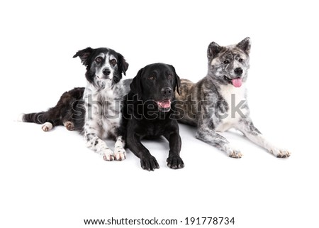 Akita, Border Collie and Labrador Retriever dogs on a white background