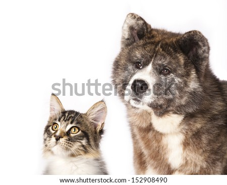 Akita inu  and cat breeds Maine Coon, Cat and dog - stock photo