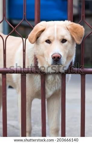 Akita inu and golden retriver mix dog  looking through fence. - stock photo