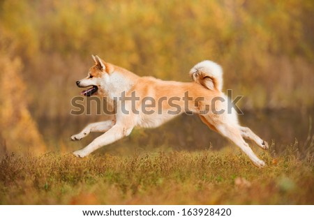 Akita-inu dog running in autumn - stock photo