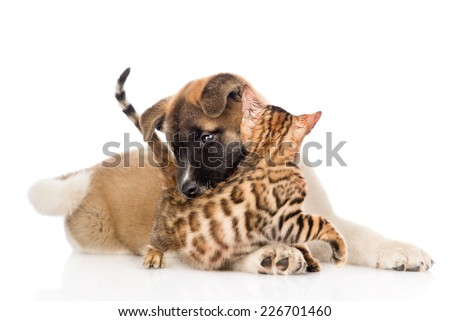 Akita inu puppy dog  fights with little bengal cat. isolated on white background - stock photo