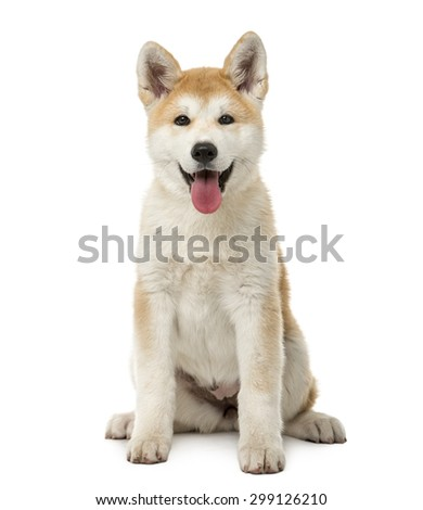 Akita Inu sitting in front of a white background - stock photo