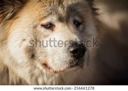 Akita inu with brown eyes, old dog