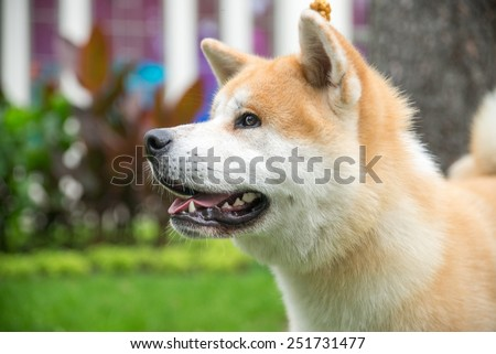 Akita-inu, young dog outdoors