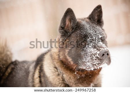 Akita Playing In Snow - This is a shot of an Akita puppy playing in the snow on a cold winter day.  - stock photo