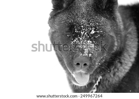 Akita Portrait - This is a black and white portrait of an Akita with snow on his face.