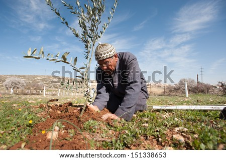 AL KHADER, PALESTINIAN TERRITORY - FEBRUARY 10: A Palestinian farmer plants olive tree seedlings in the Ein El Qassis area of Al Khader village, West Bank, February 10, 2013.