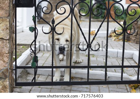 Alabai protects the house, waiting for the owner, sad