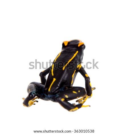 Alanis dyeing poison dart frog, Dendrobates tinctorius, isolated on white background - stock photo