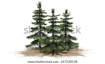 Alaska Cedar tree cluster - isolated on white background - stock photo