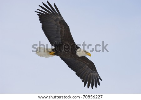 Alaskan Bald Eagle flying with blue sky - stock photo