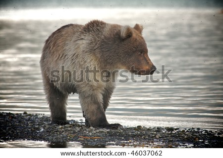 Alaskan brown bear - stock photo