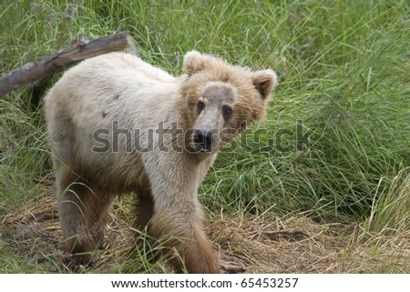 Alaskan Brown Bear cub in Katmai National Park - stock photo