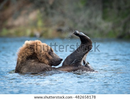 Alaskan brown bear cub playing and rolling in the Brooks River in Katmai National Park, Alaska