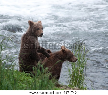 Alaskan brown bear cubs along the shore of a river in Kenai Fjords National Park