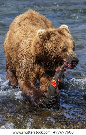 Alaskan brown bear feeding on salmon in Brooks falls in Katmai national Park, Alaska