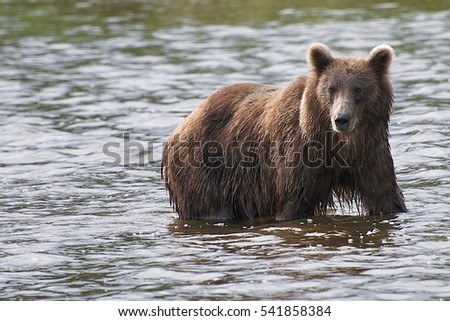 Alaskan brown bear fishing