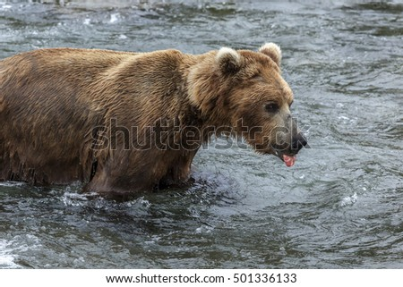 Alaskan brown bear in Katmai national Park, Alaska