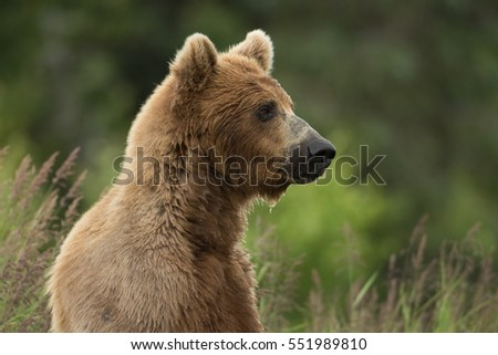 Alaskan brown bear sow in tall weeds along the shore of Brooks River in Katmai National Park, Alaska