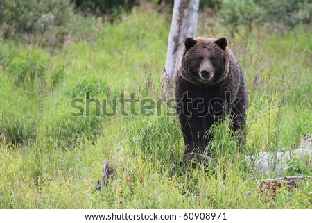 Alaskan Grizzly - stock photo