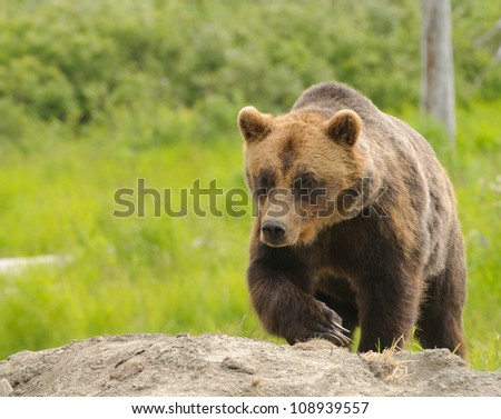 Alaskan Grizzly bear walking towards the viewer