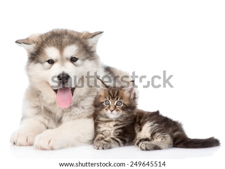 alaskan malamute dog and maine coon cat together. isolated on white background