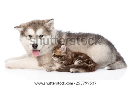 Alaskan malamute dog and small maine coon cat lying in profile. isolated on white background