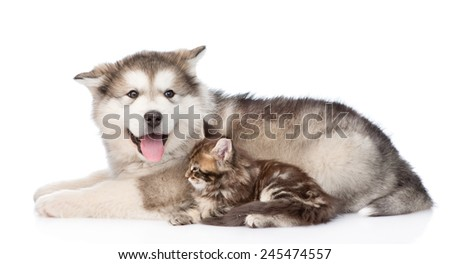 alaskan malamute dog and small maine coon cat lying together. isolated on white background