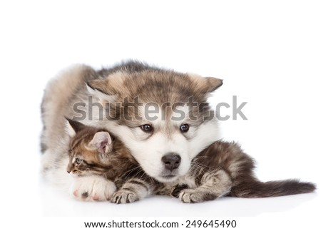 alaskan malamute dog embracing small maine coon cat. isolated on white background - stock photo