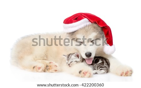 Alaskan malamute dog in red santa hat sleep with scottish kitten together. isolated on white background - stock photo