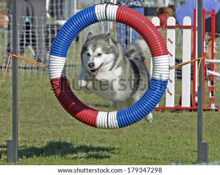 Alaskan Malamute Dog Jumping Through Agility Hoop - stock photo