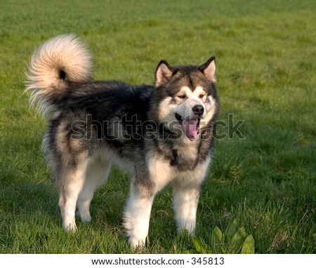 Alaskan Malamute dog standing - stock photo