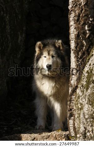 Alaskan Malamute dog with winter coat on nature - stock photo