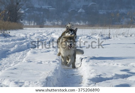 Alaskan malamute dogs snow 2 - stock photo