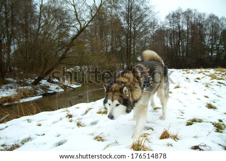 Alaskan Malamute for a walk in winter