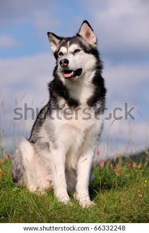 Alaskan Malamute on holiday in the spring - stock photo