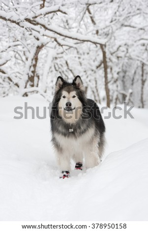 Alaskan malamute posing in a winter scene with deep snow and trees in the background - stock photo