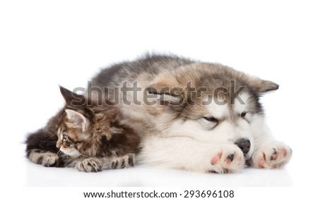 alaskan malamute puppy and maine coon kitten sleeping together. isolated on white background - stock photo